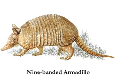 nine_banded_armadillo
